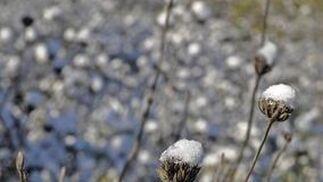 Detalle de la nieve acumulada sobre los tallos de las flores.  Foto: B.Vargas/Juan Carlos Vázquez