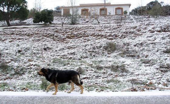 Un perro pasea por la nieve de la carretera de Colmenar. / Migue Fernández