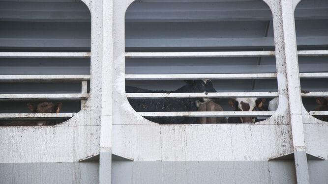 El buque traslada un total de 20.600 vacas hasta Turquía.
