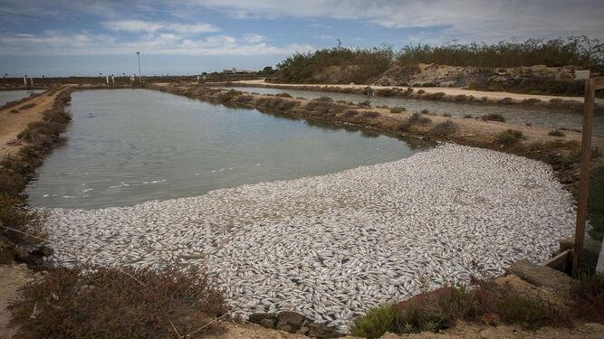 Miles de doradas muertas en una de las balsas de la piscifactoría ubicada en San Fernando, junto a la playa de Camposoto.
