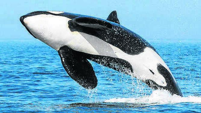 Imagen tomada en verano de 2016 de la orca Pingu saltando.