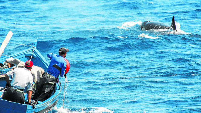 Pescadores marroquíes y una orca luchando por conseguir la pieza de atún.