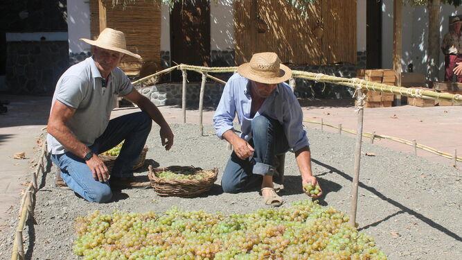 La elaboración de la uva pasa y todo el proceso que supone, uno de los mayores atractivos del Día de la Pasa en el Borge.