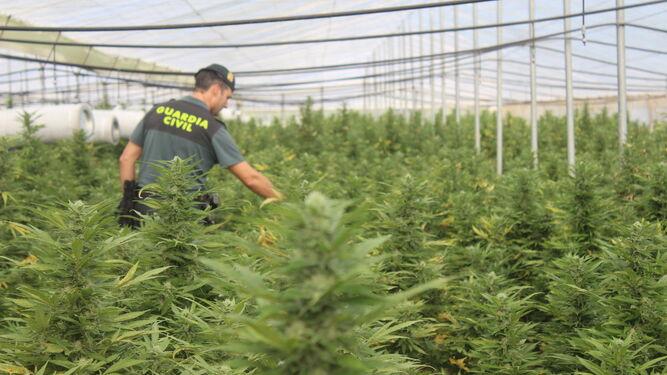 Un agente de al Guardia Civil camina entre la enorme plantación de marihuana.