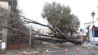 Árbol derribado por el temporal en Chipiona.